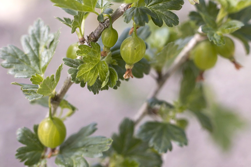 Video - why have all my gooseberries dropped off?