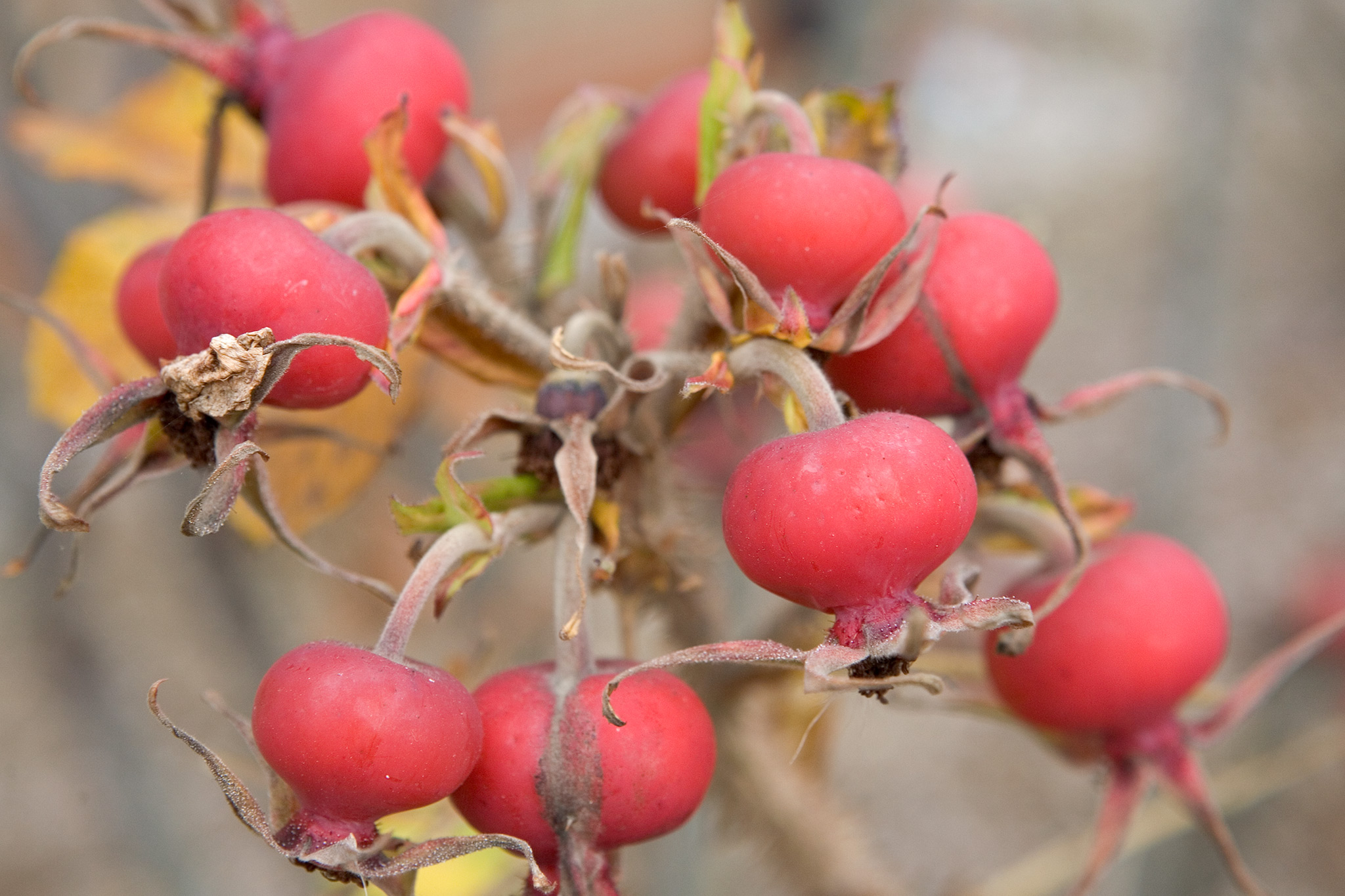 red-rosehips-2