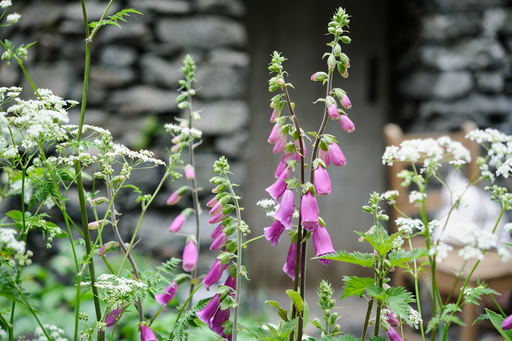 foxgloves-with-cow-parsley-2