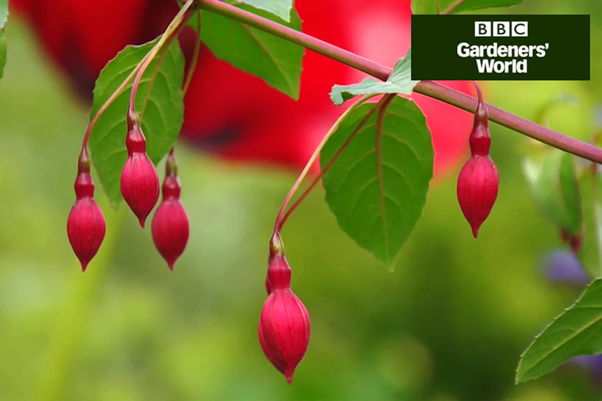 How to grow fuchsias in a container