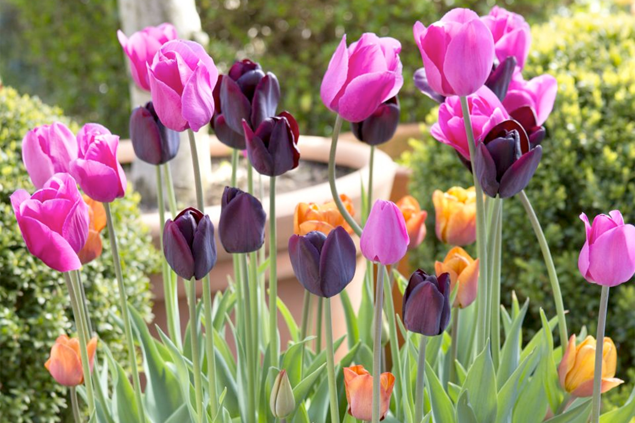 orange-pink-and-purple-tulip-combination-3