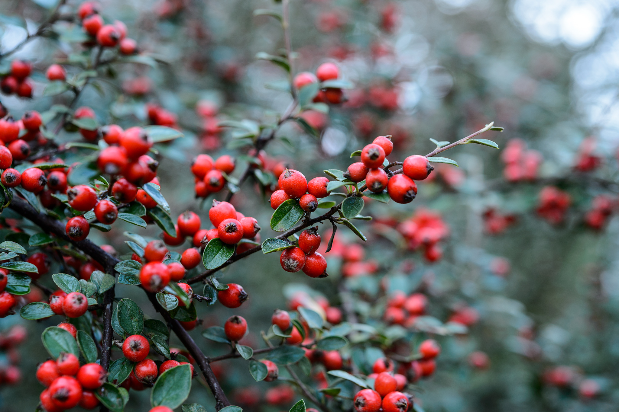 cotoneaster-6