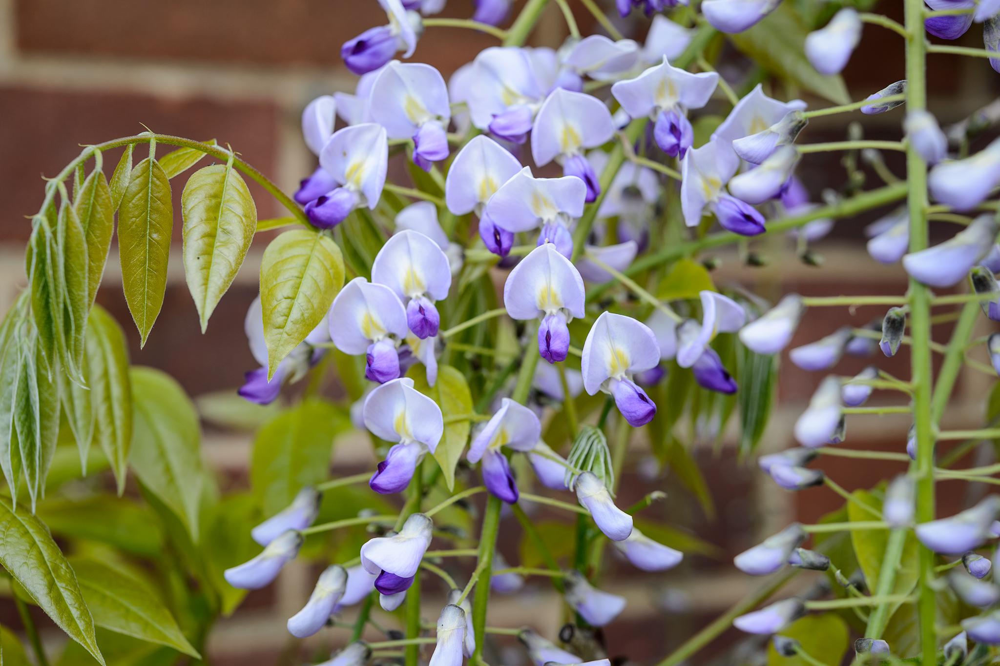 Pruning Climbers For Better Flowers Gardenersworld