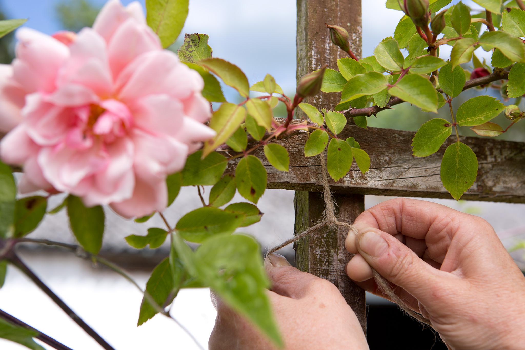 tying-in-a-rose-stem-2