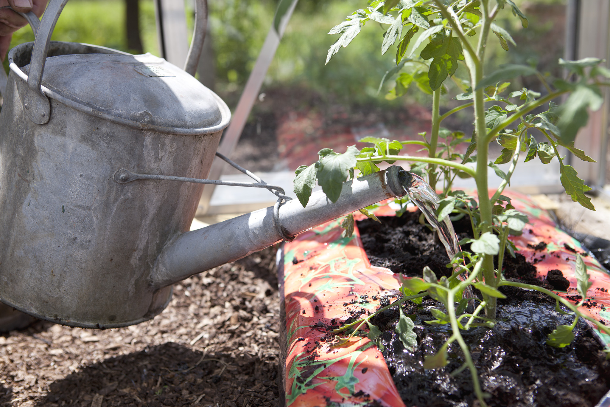 tomatoes-growing-in-a-bag-2