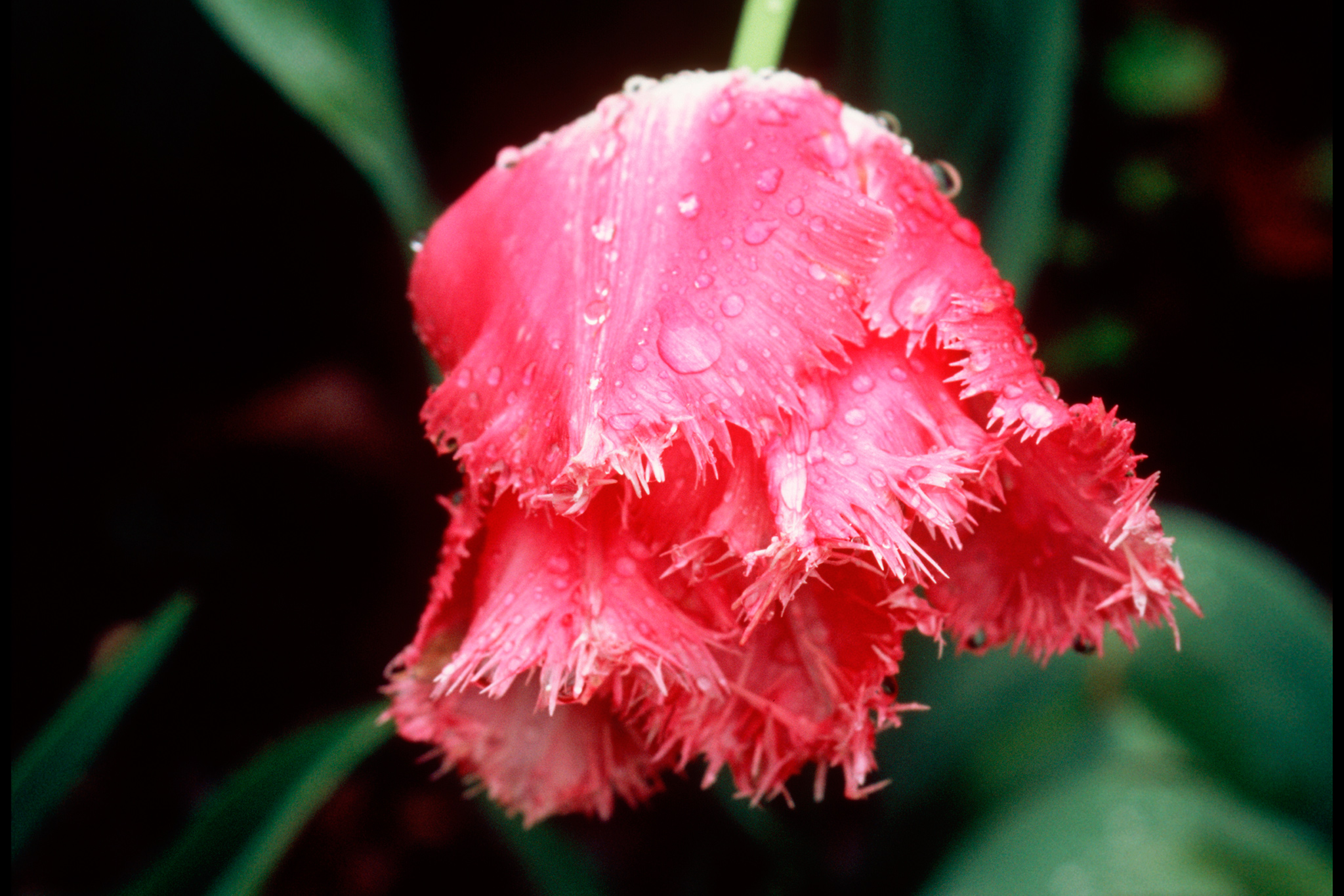tulip-fancy-frills-2