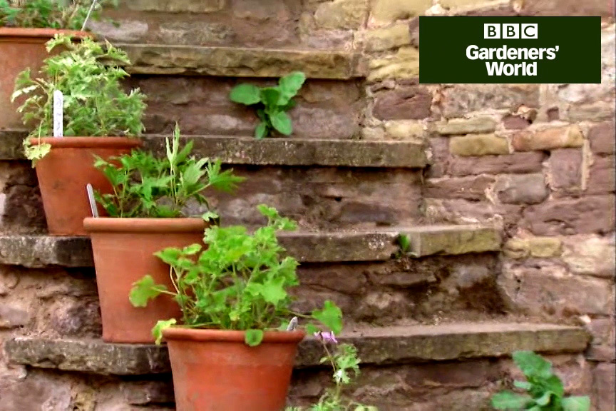 Growing lavender and pelargoniums in pots video