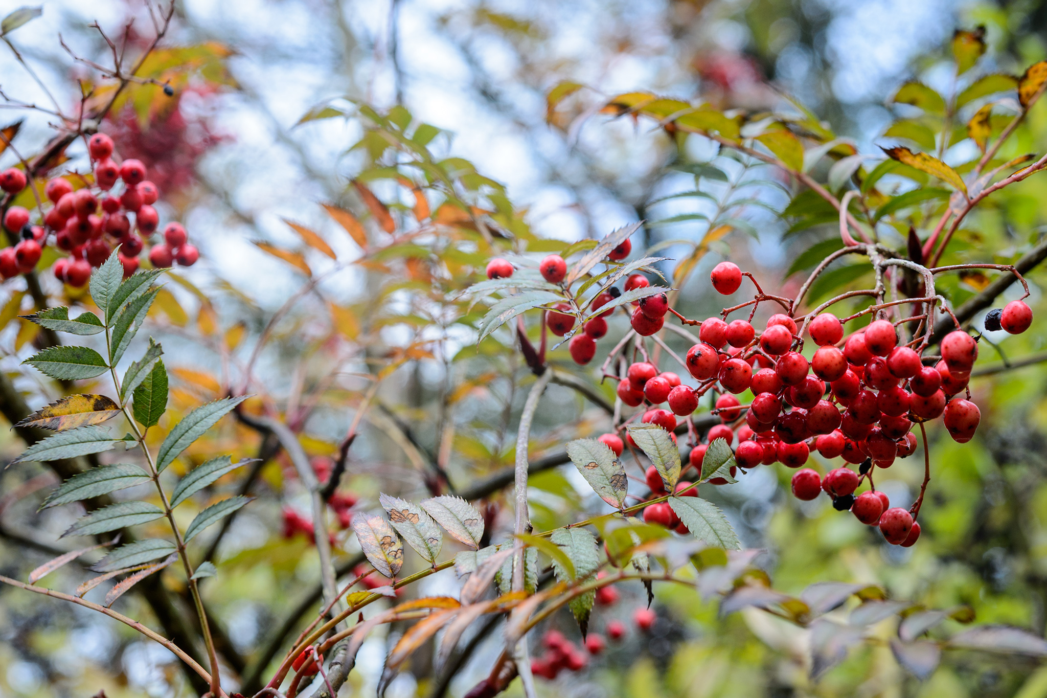 Mountain ash Sorbus