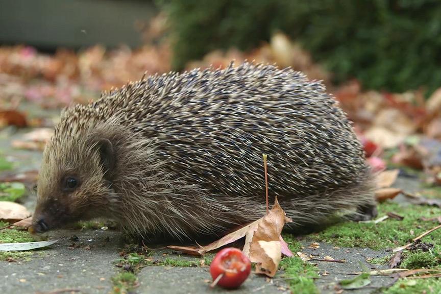 How to help hedgehogs NFG video