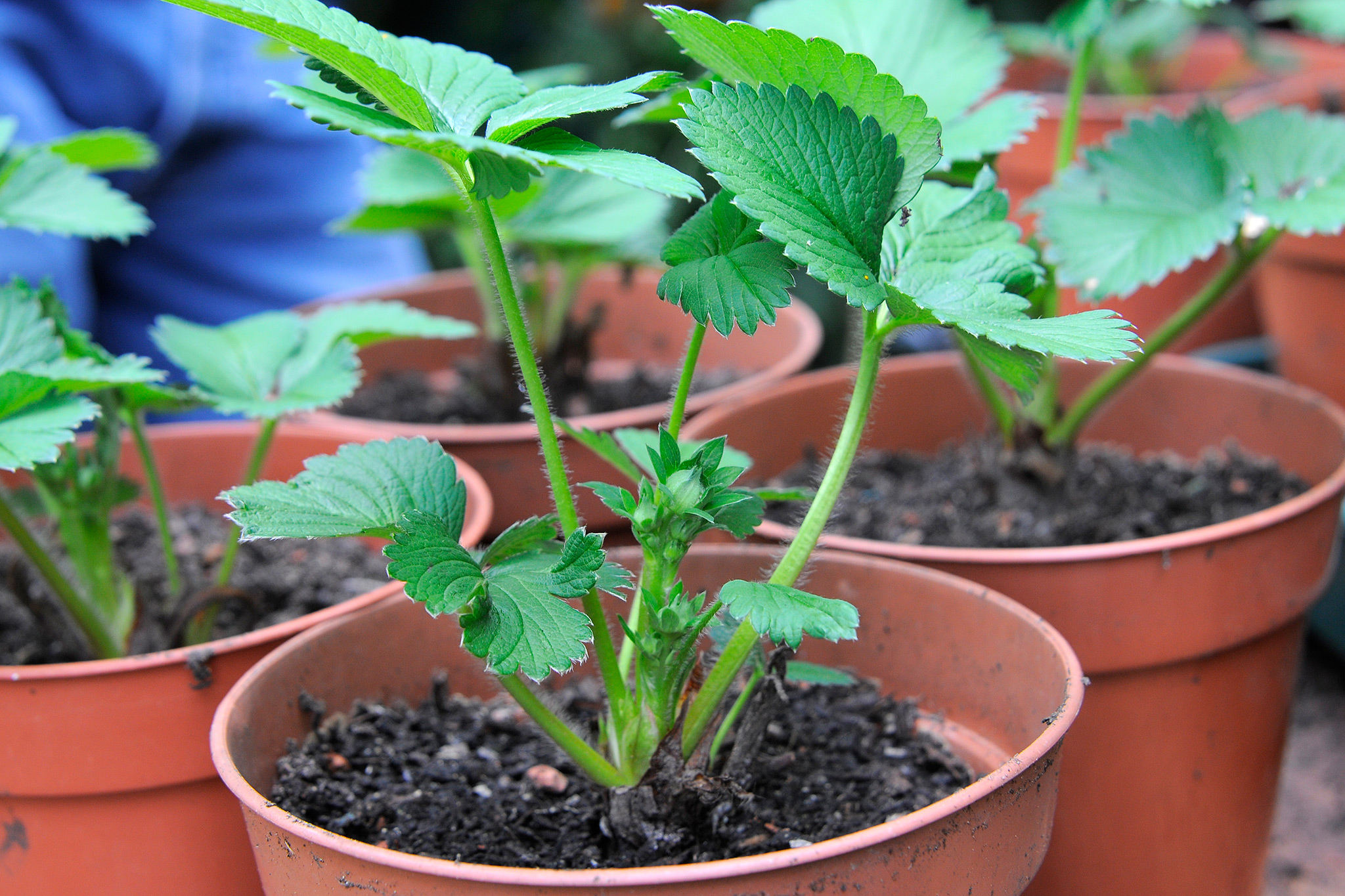 strawberry-plants-in-pots-on-the-greenhouse-bench-2