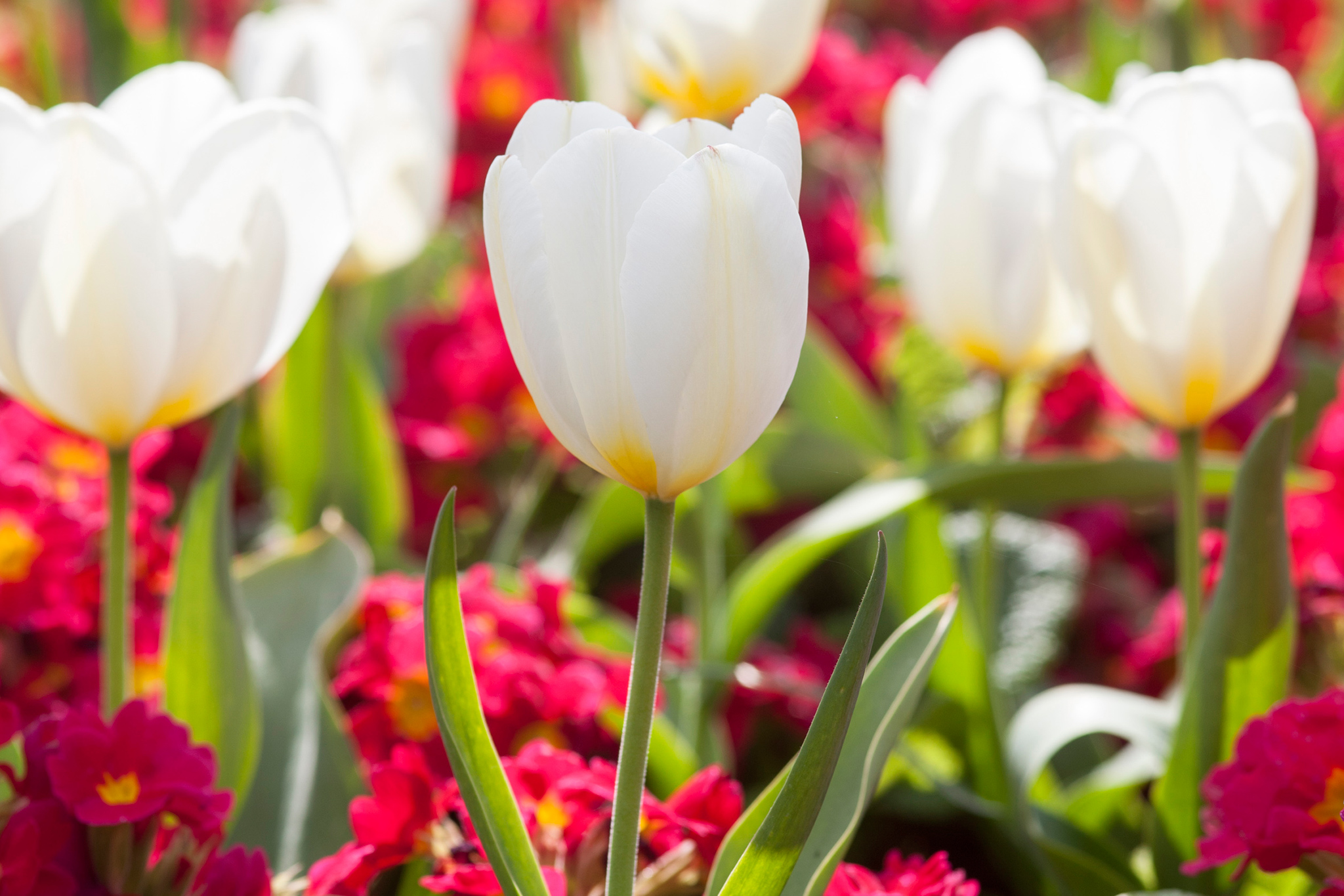 Tulipa 'Purissima' and Primula Red