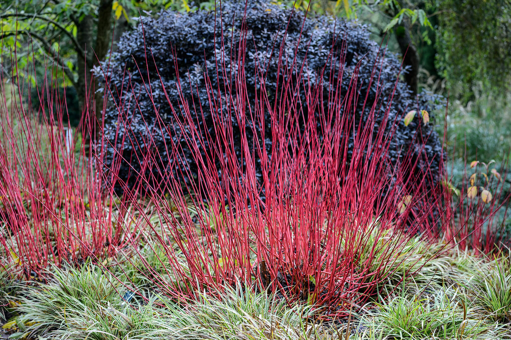 cornus-and-carex-2