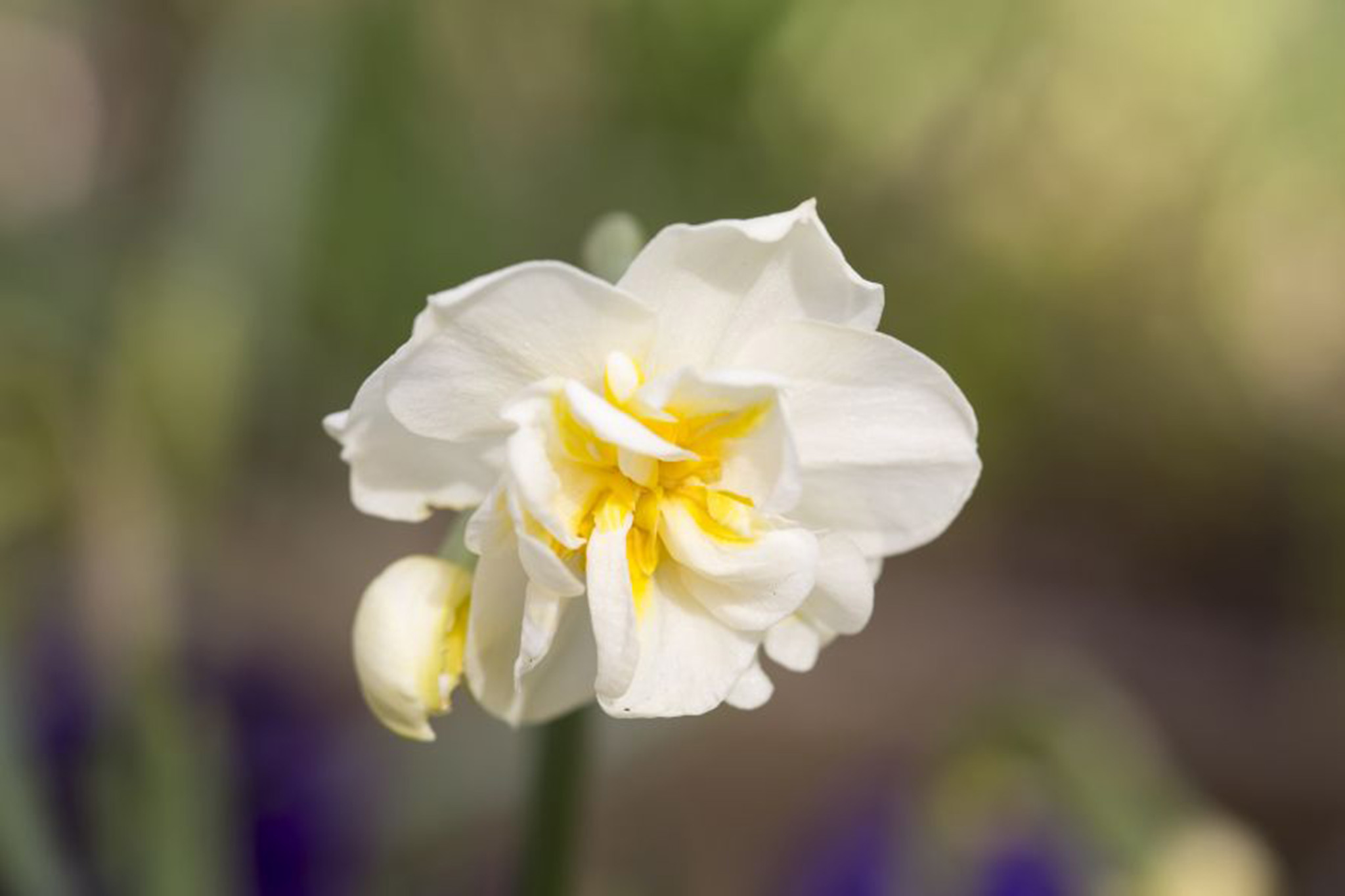 narcissus-cheerfulness-3
