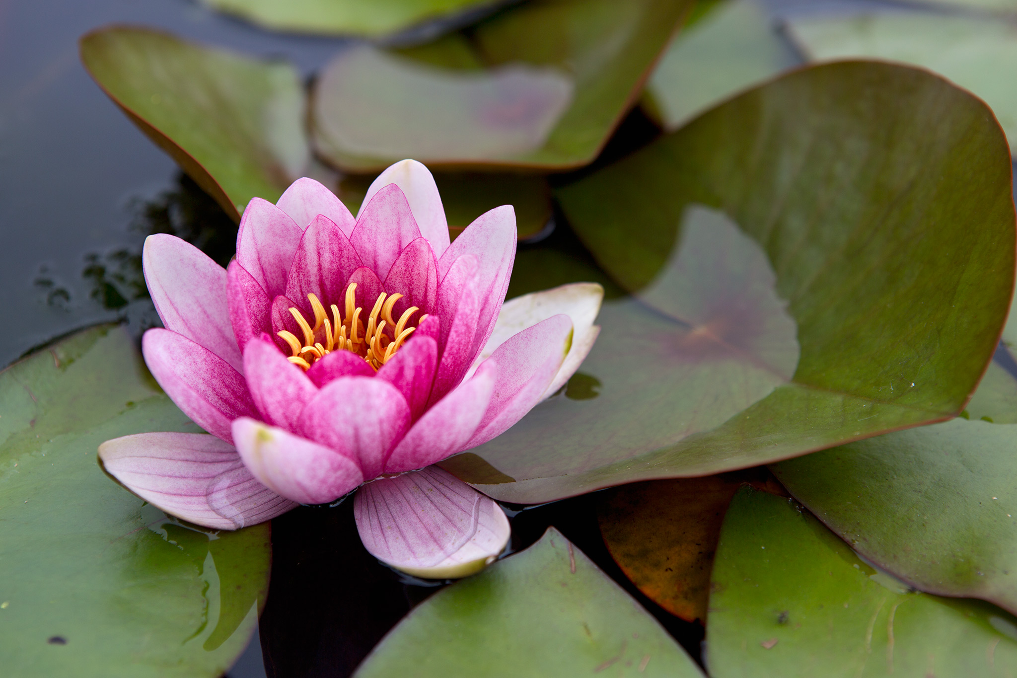 Grow guide - waterlilies