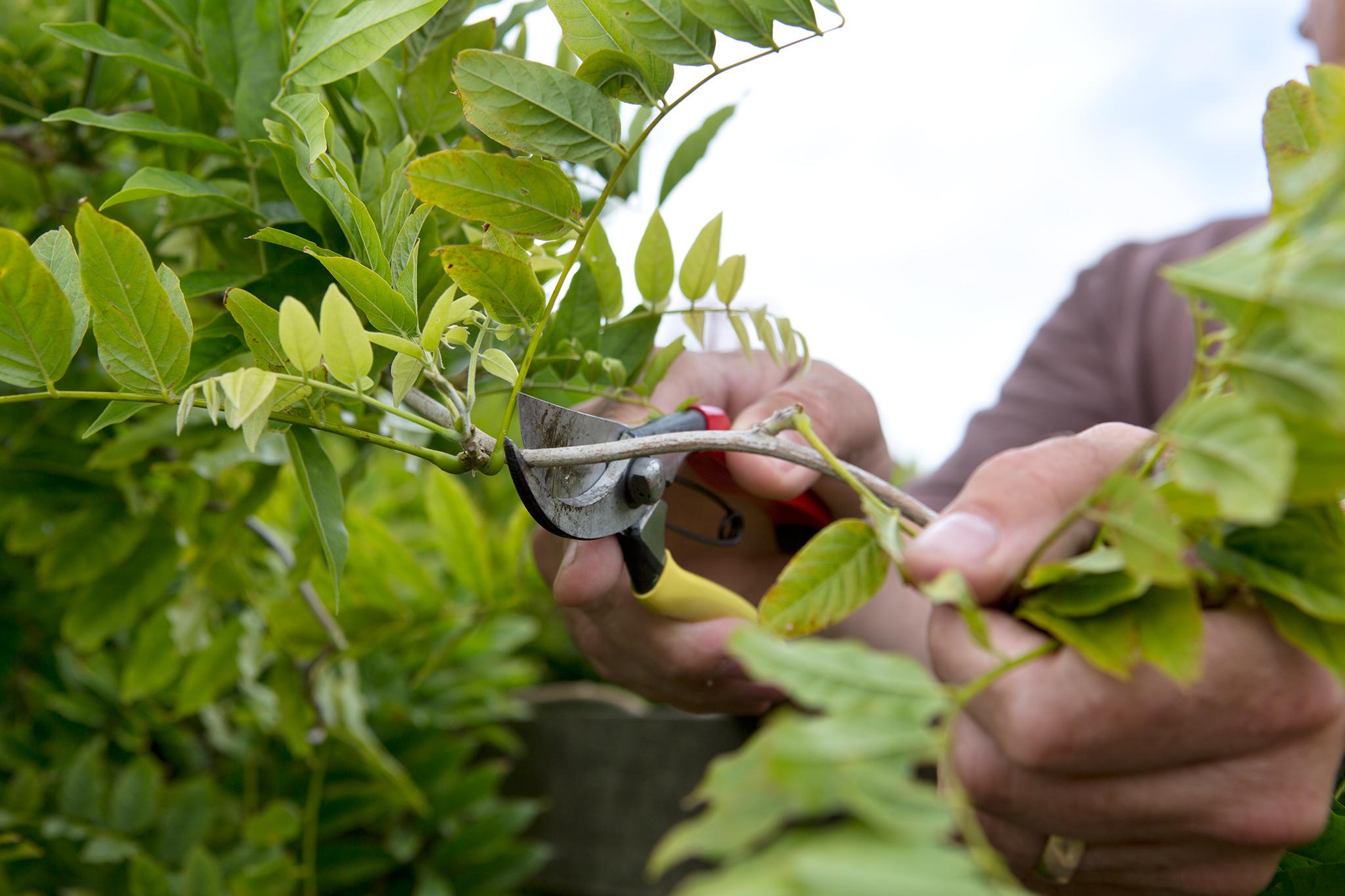 wisteria-pruning-2