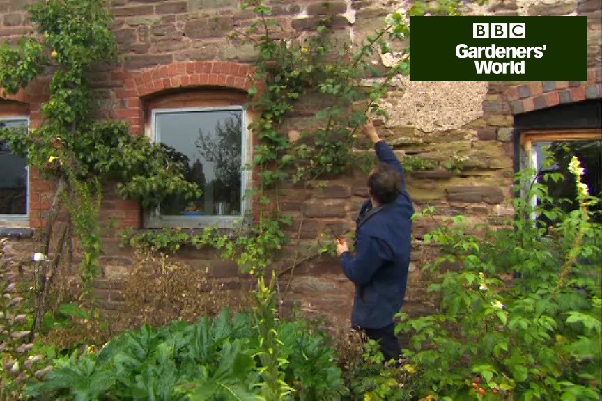 How to prune a climbing rose video