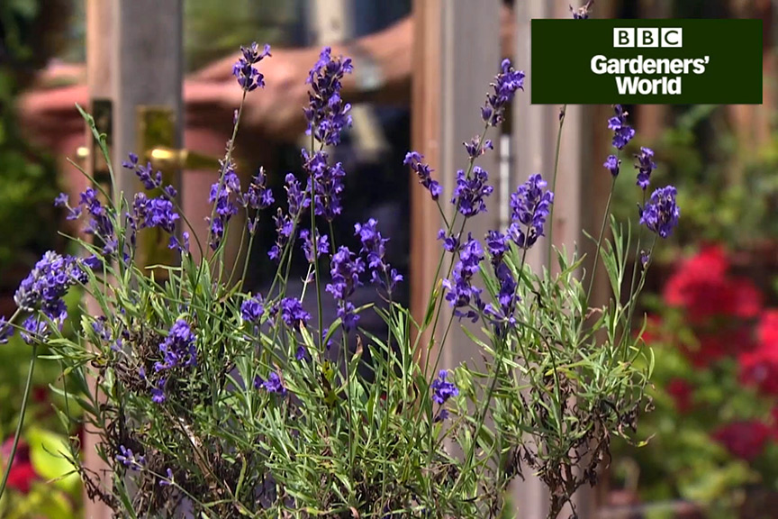 How to summer prune lavender video