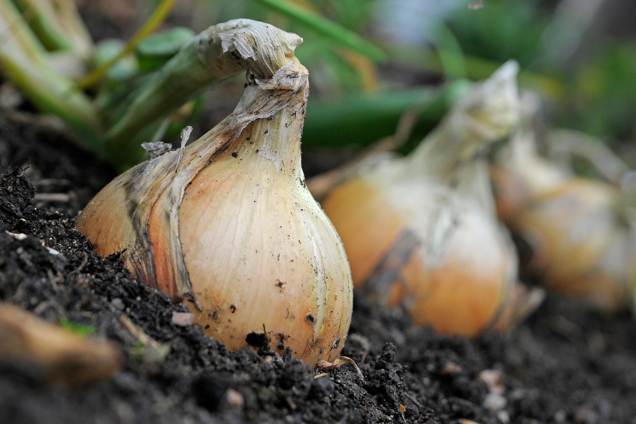 onions-2