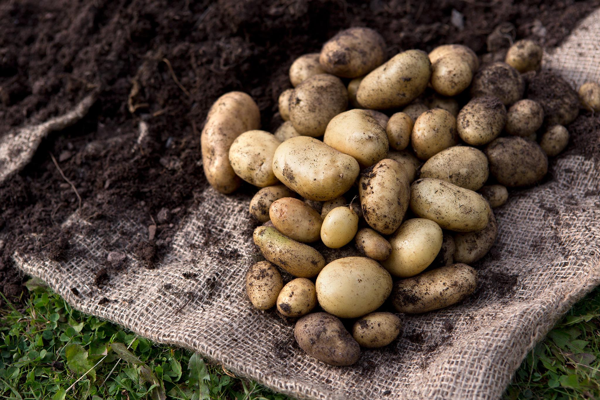 Allotment jobs in September - harvesting maincrop potatoes
