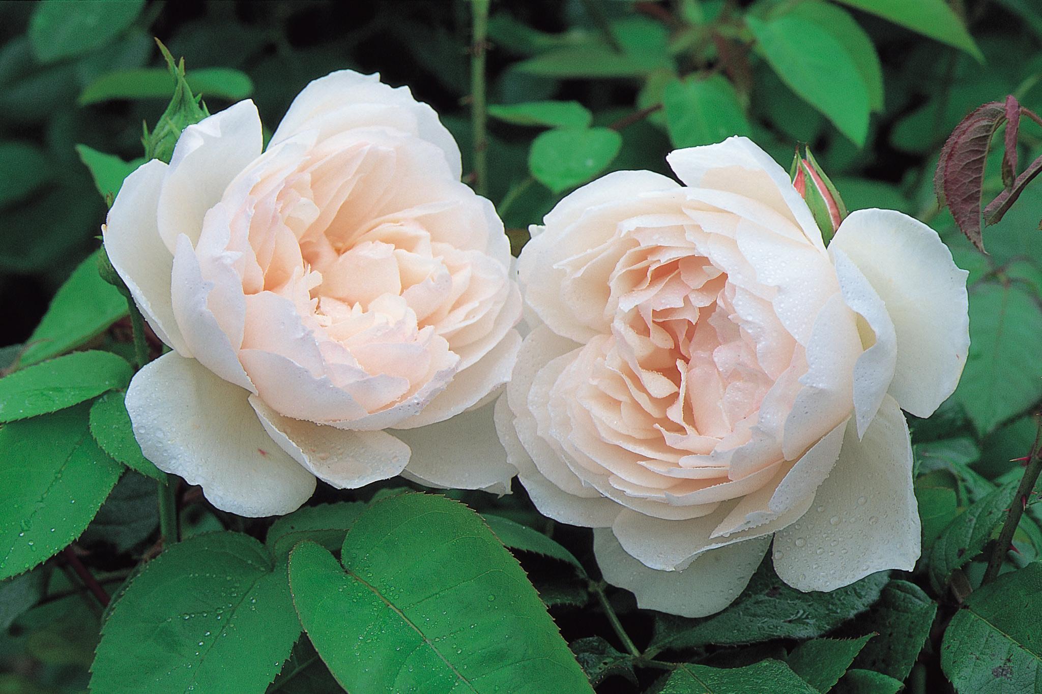 rosa-the-generous-gardener-image-courtesy-of-david-austin-roses-2