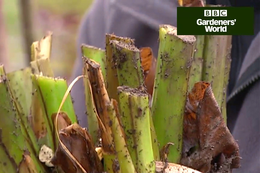 How to protect cannas and gingers over winter video