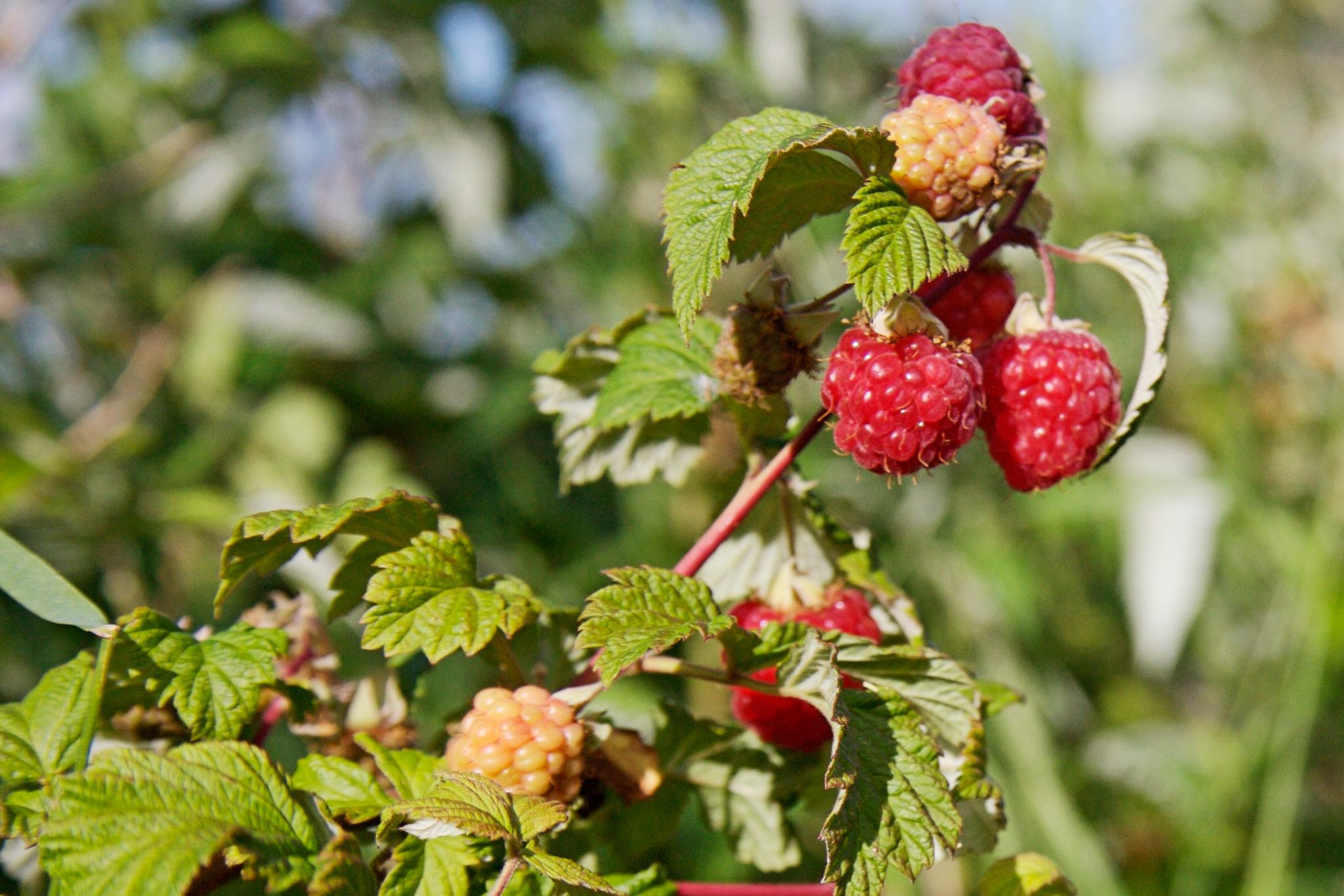 raspberry-fruits-2