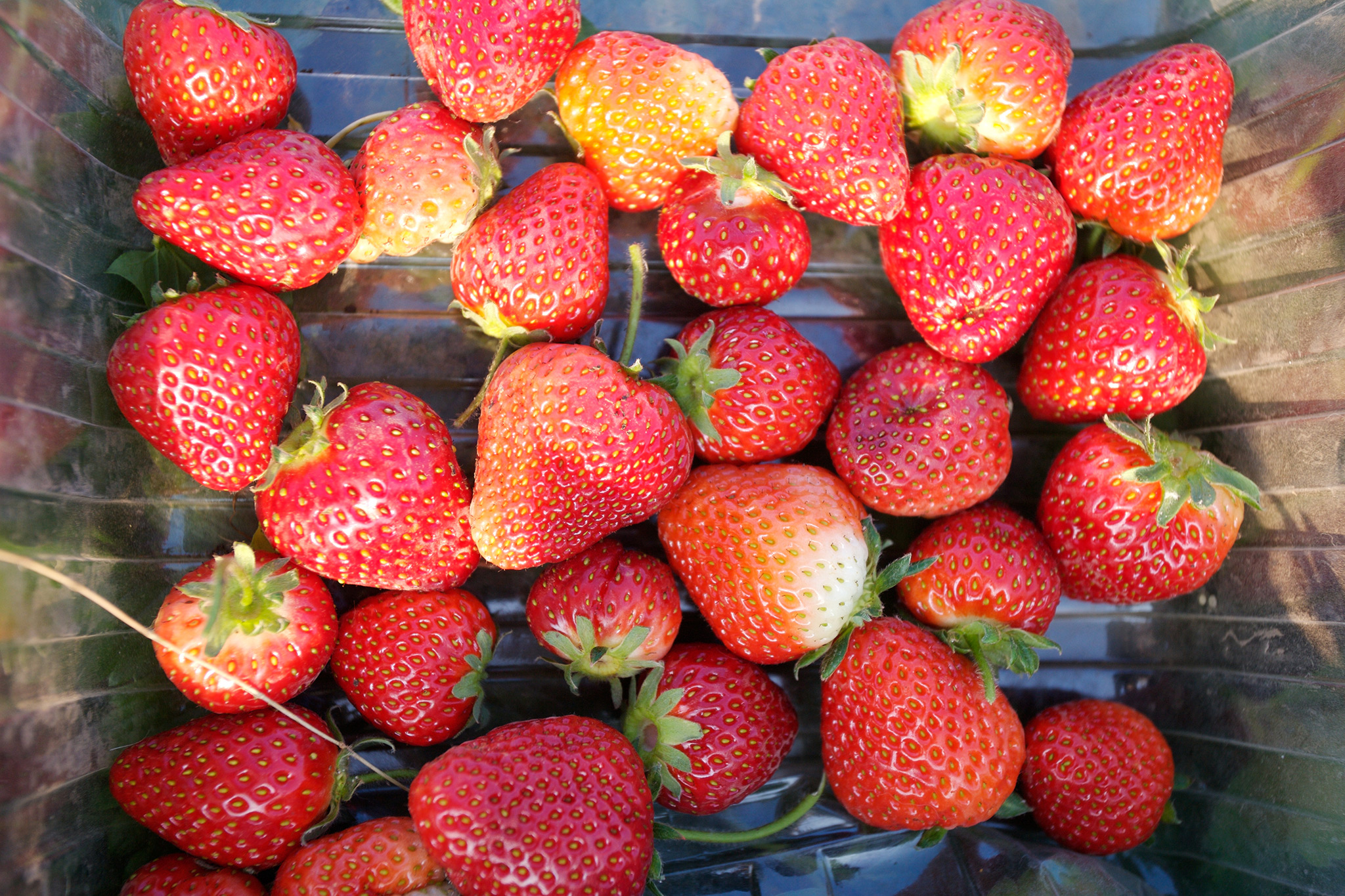 An early crop of strawberries