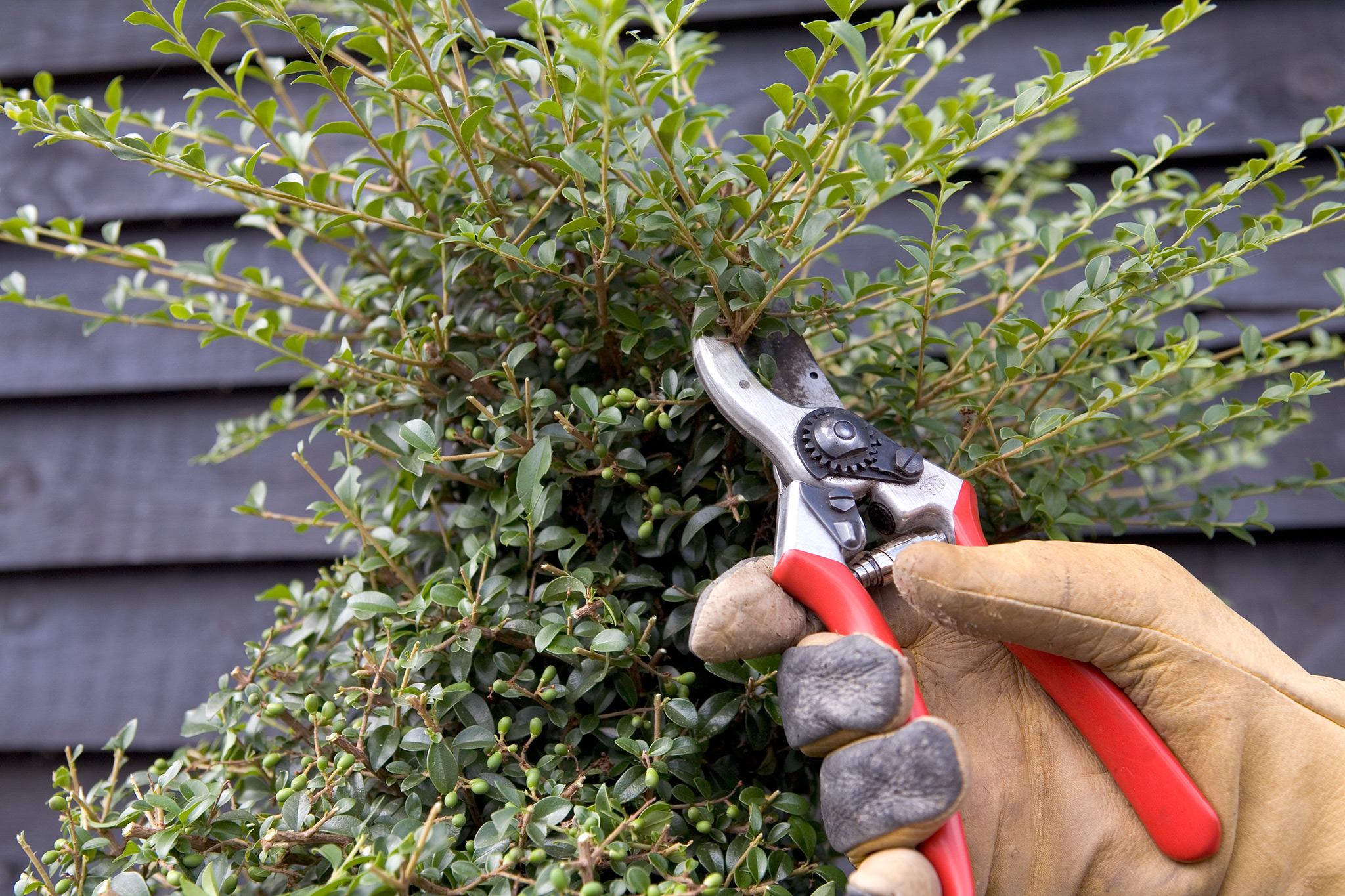 trimming-topiary-spiral-top-with-secateurs-2