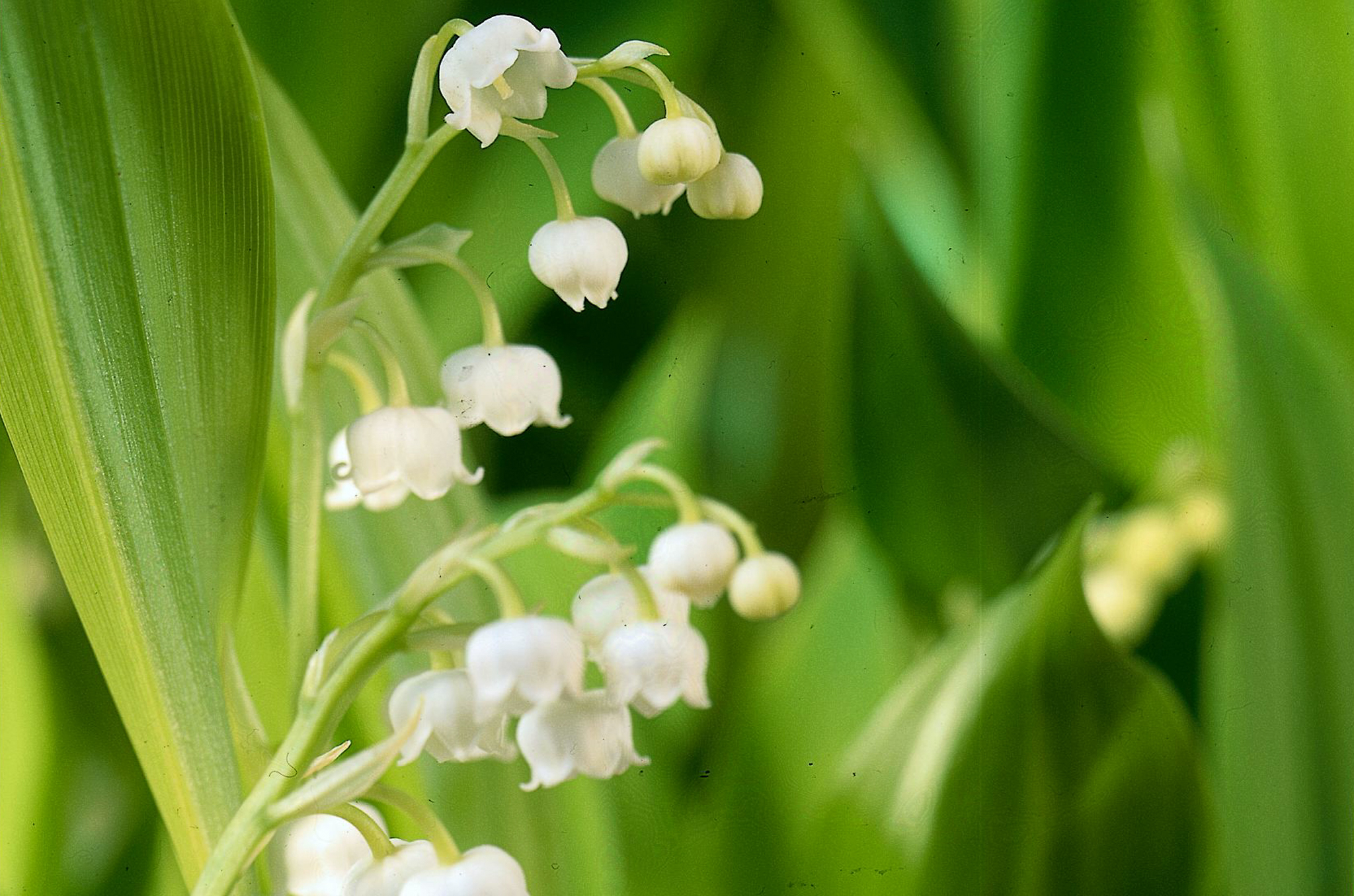 Grow lily of the valley project gardenersworld izmirmasajfo