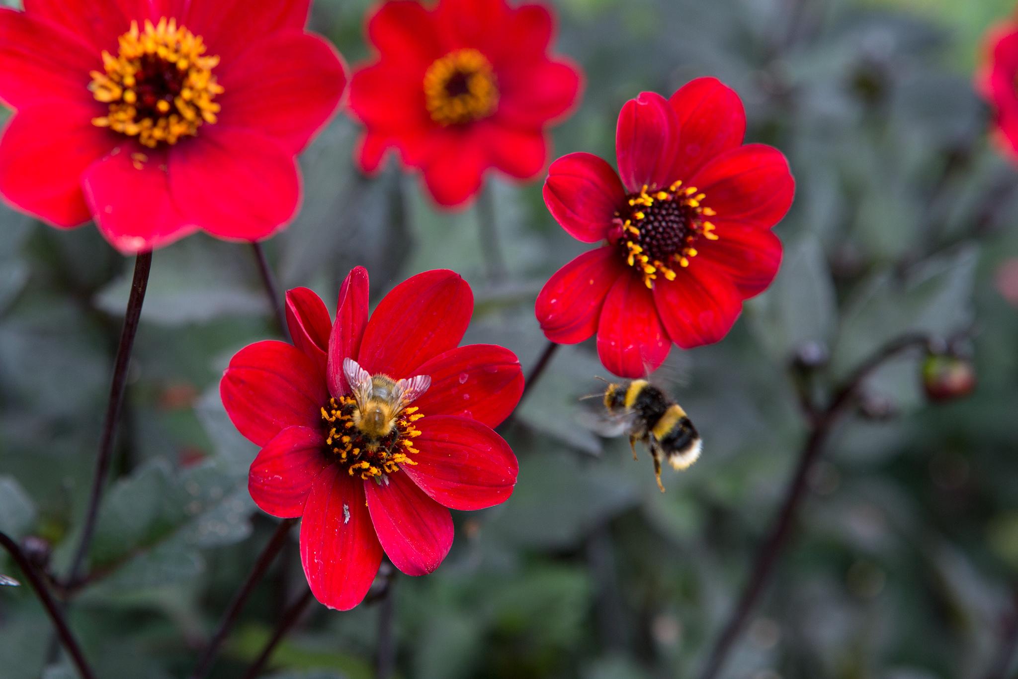 red-single-flowered-dahlia-2