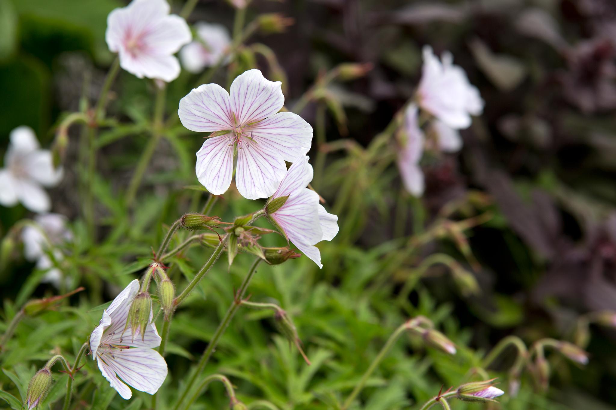 geranium-kashmir-white-2
