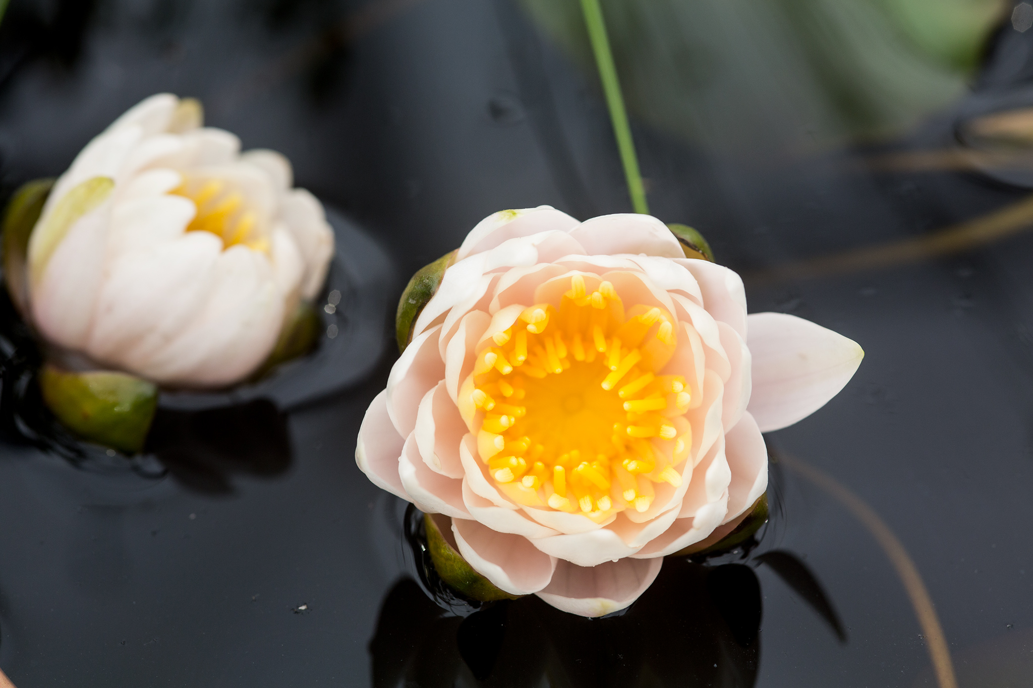 nymphaea-walter-pagels-4