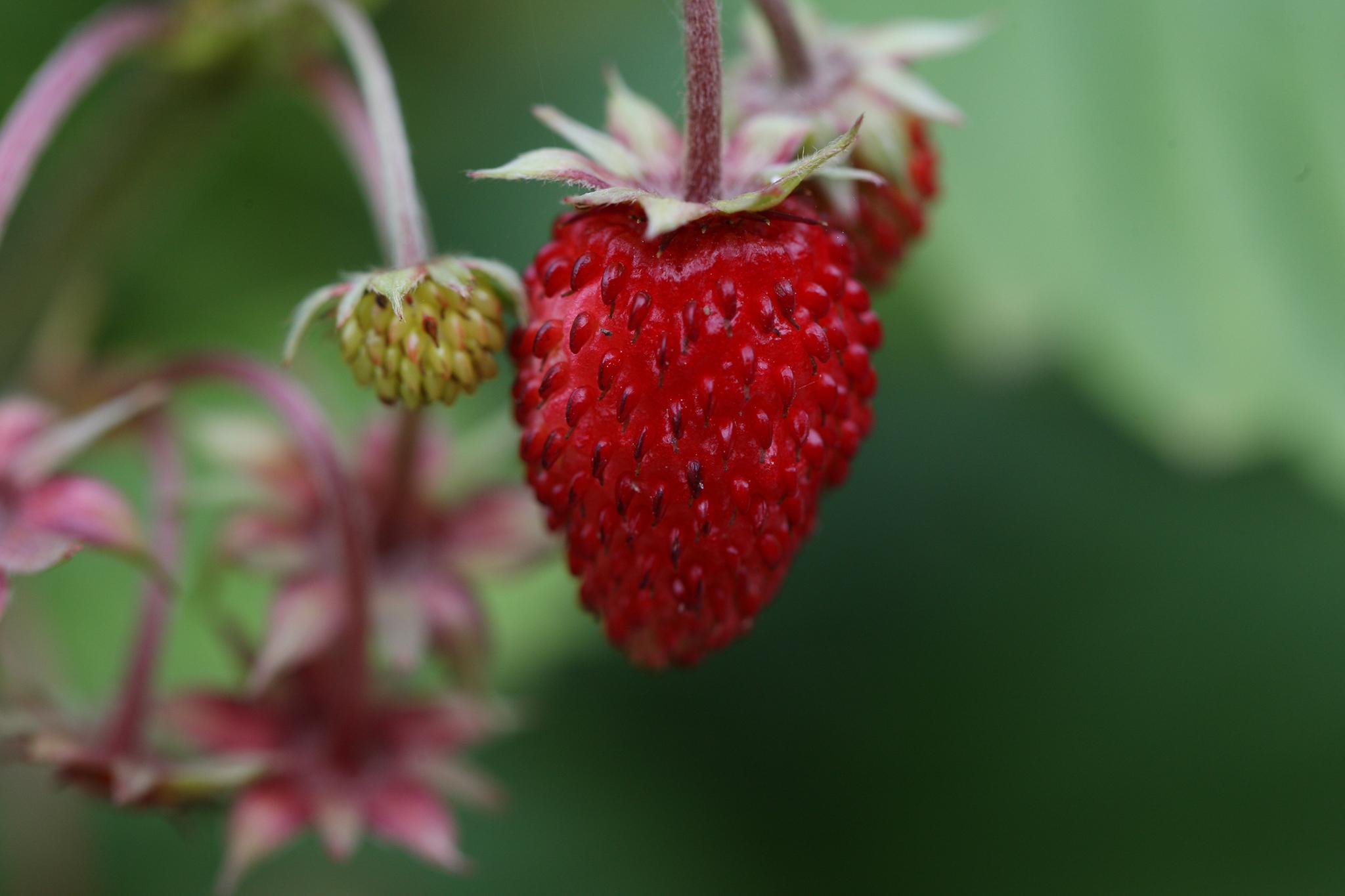 alpine-strawberries-5