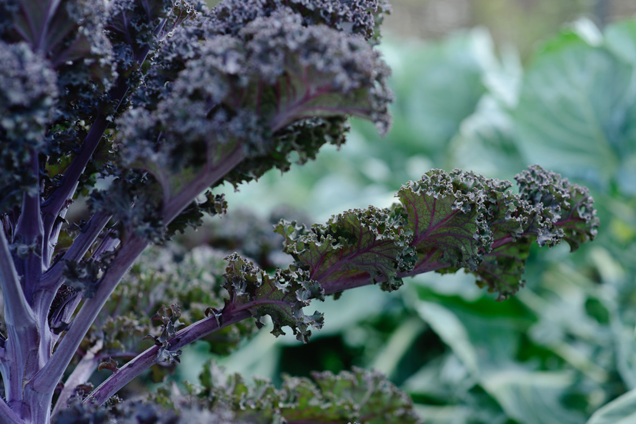 red-kale-2