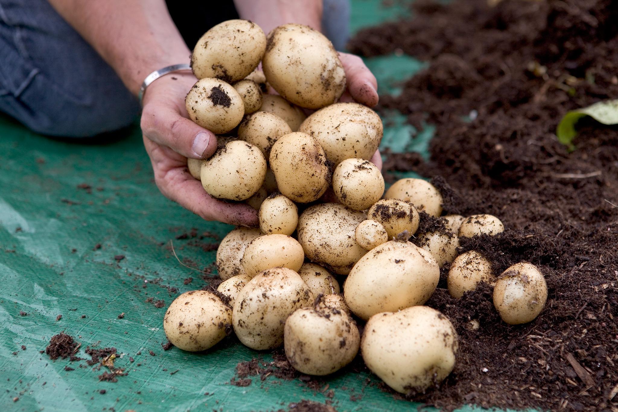 harvesting-potatoes-13