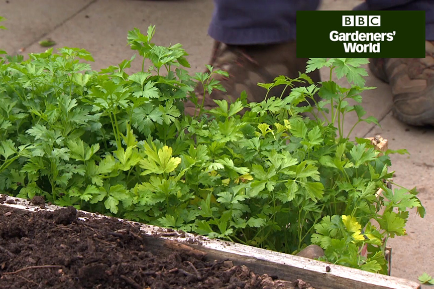 How to grow parsley video