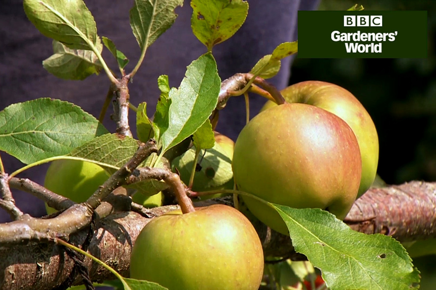 How to prune trained apple trees in summer video