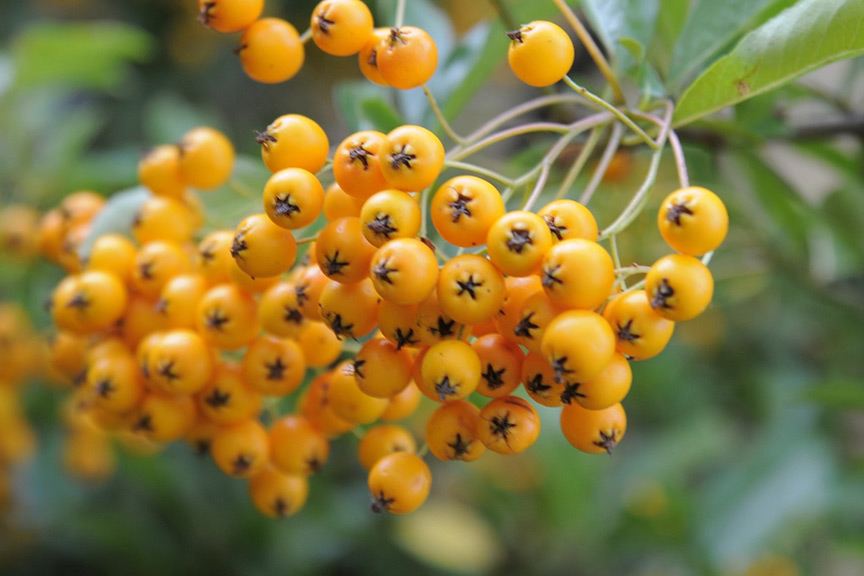 Video - why does my pyracantha have berries but not fruit?