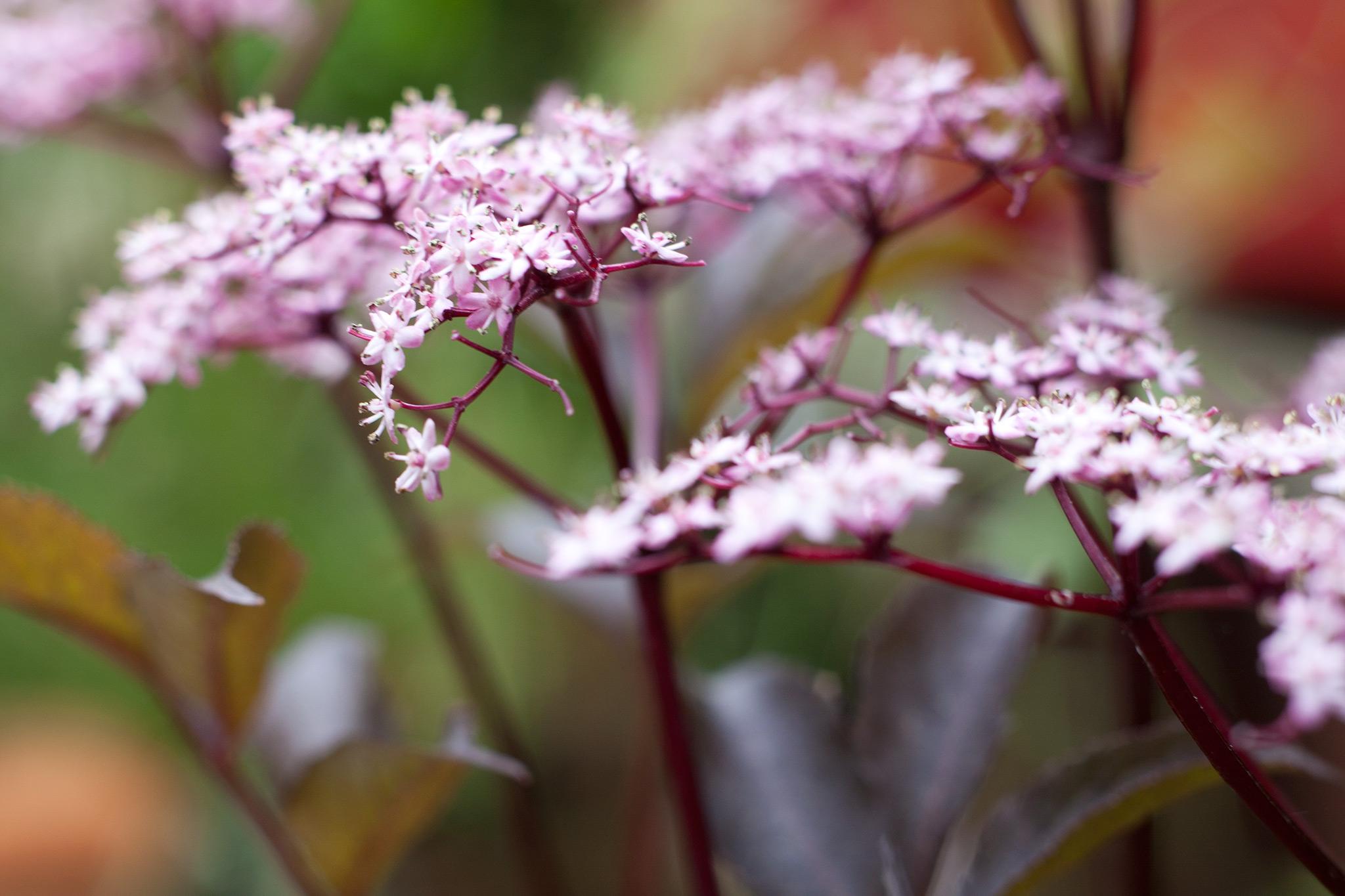 sambucus-nigra-4