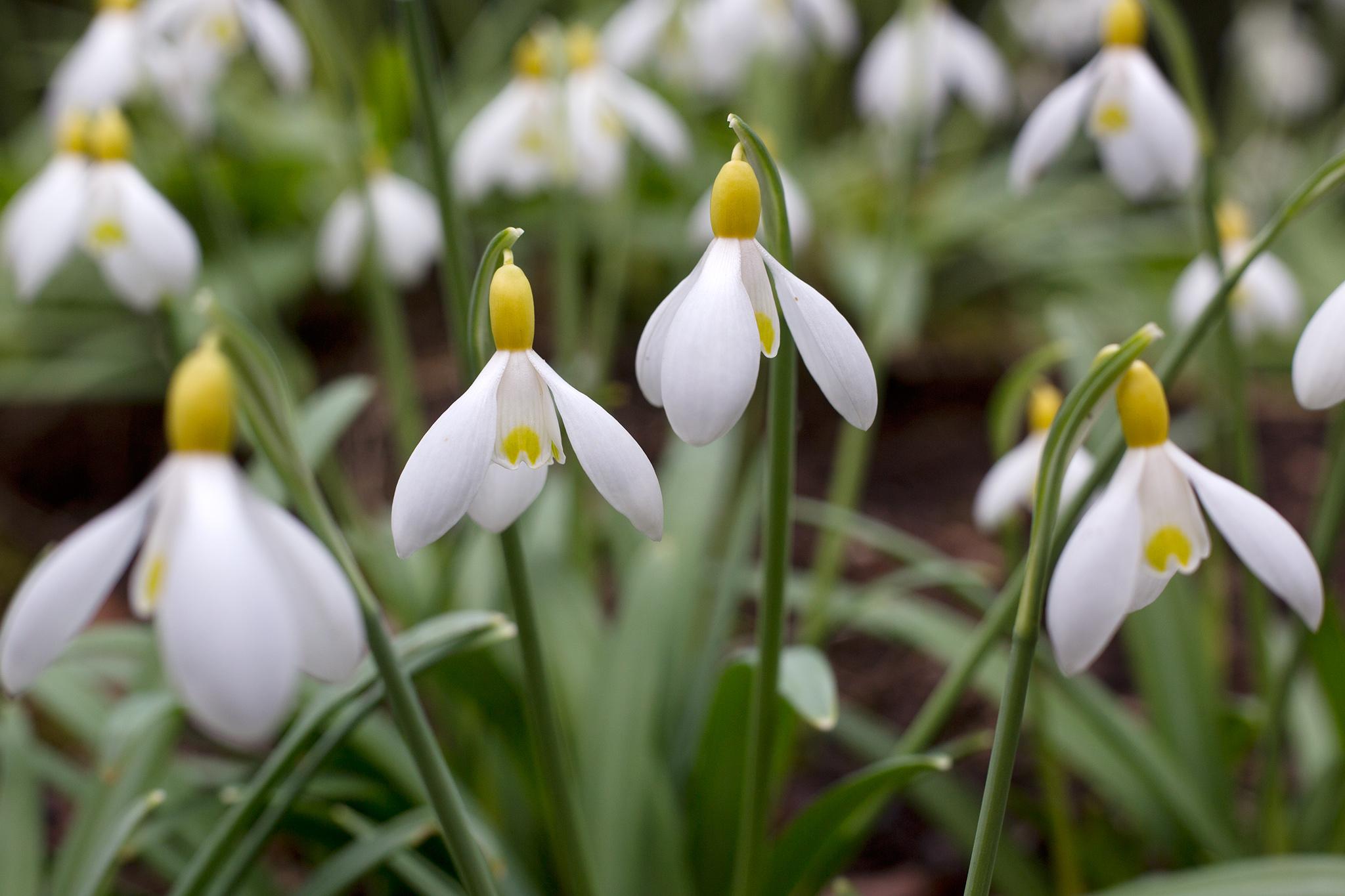 Snowdrop 'Primrose Warburg'