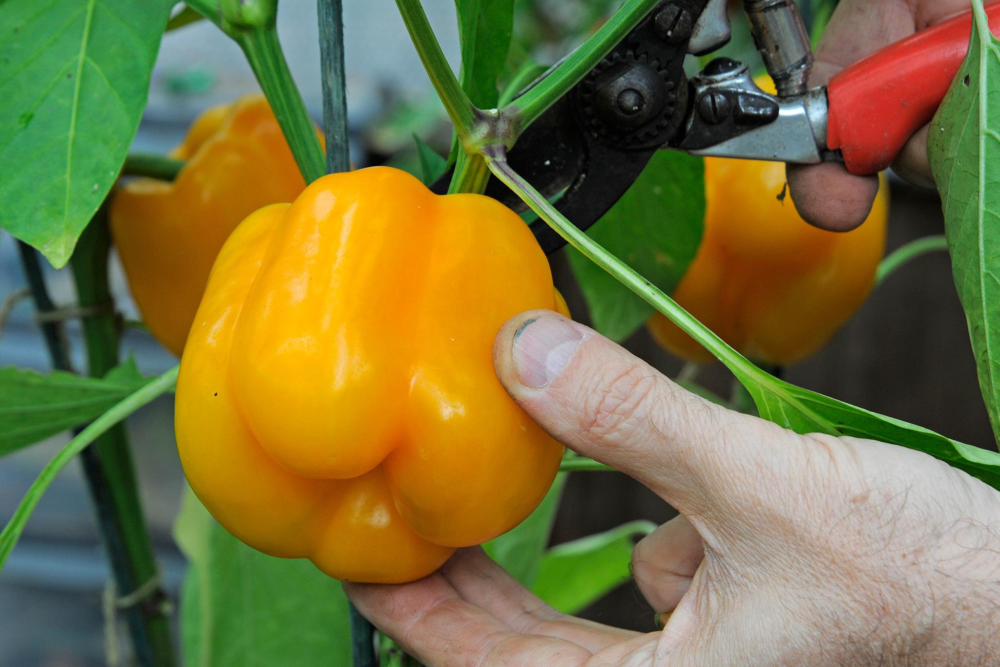 harvesting-sweet-peppers-2