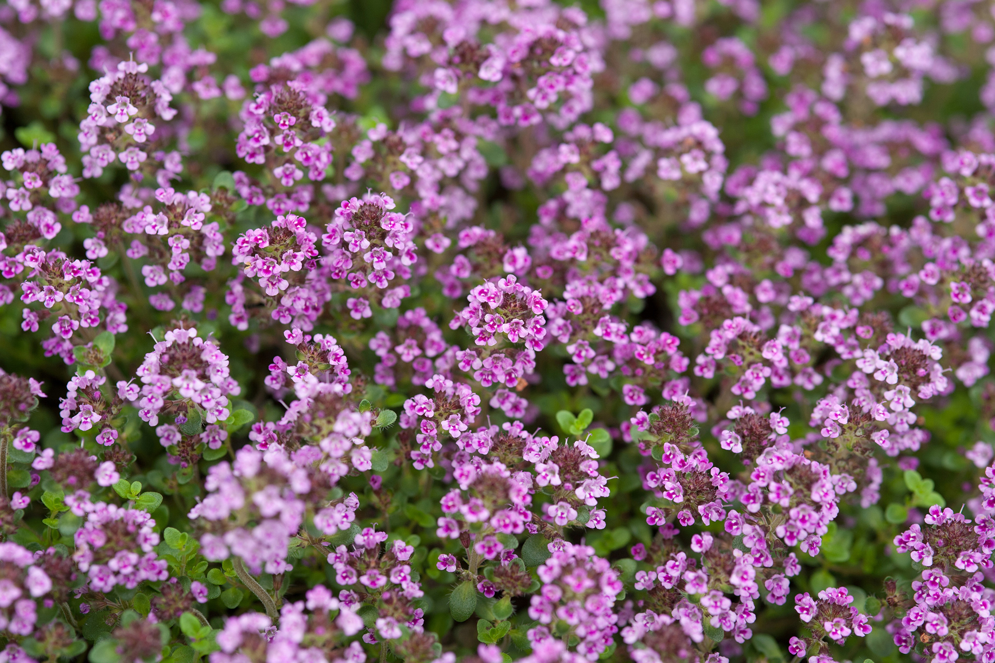 thyme-herb-2