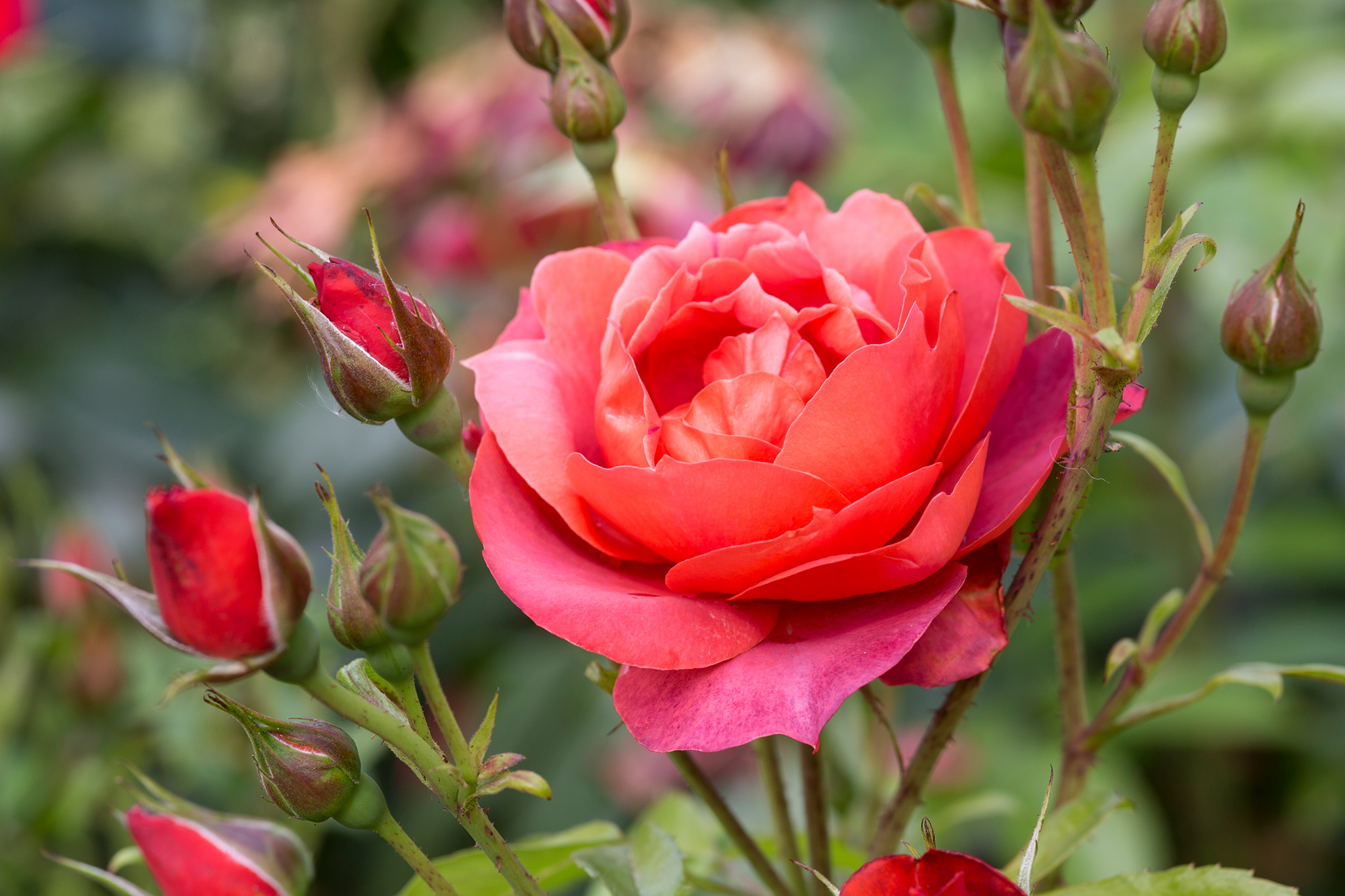 Best Floribunda Roses to Grow