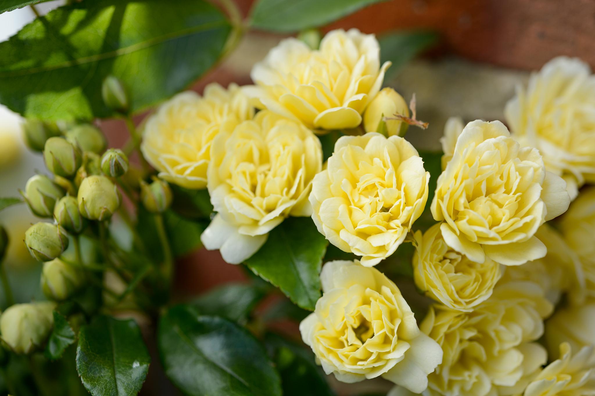 rosa-banksiae-lutea-3