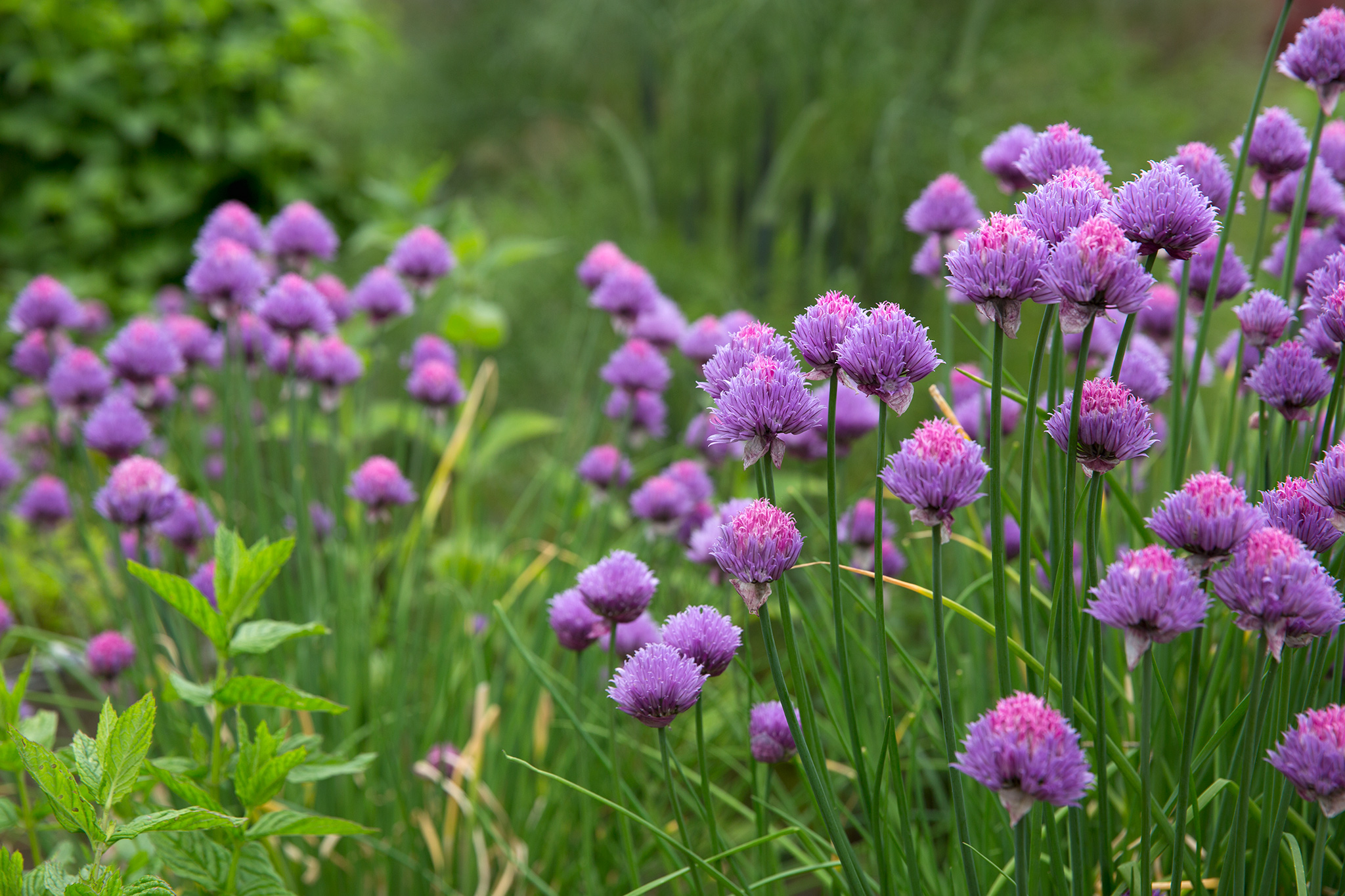 flowering-chives-2