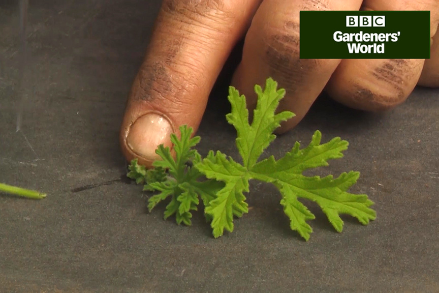How to take cuttings from pelargoniums video