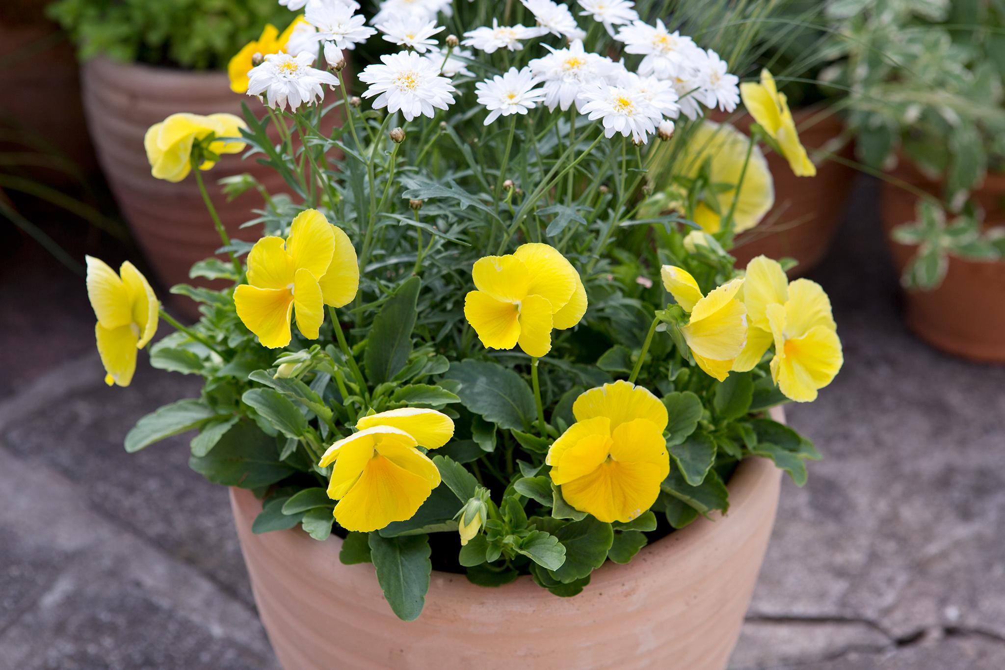 argyranthemum-pansy-and-stipa-2