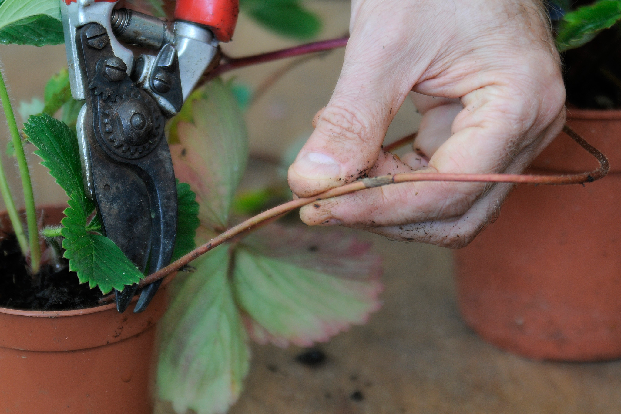 removing-long-runners-from-strawberry-plant-2