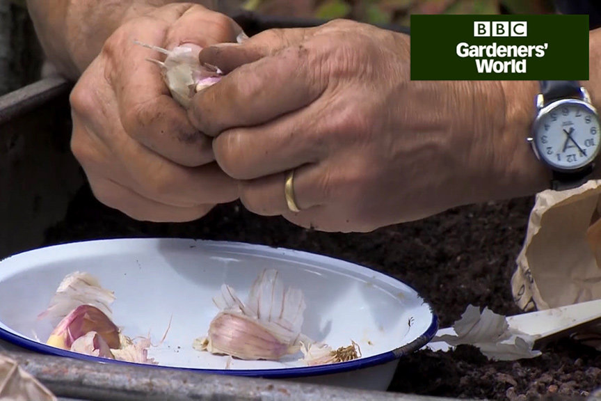 How to plant garlic in a container video