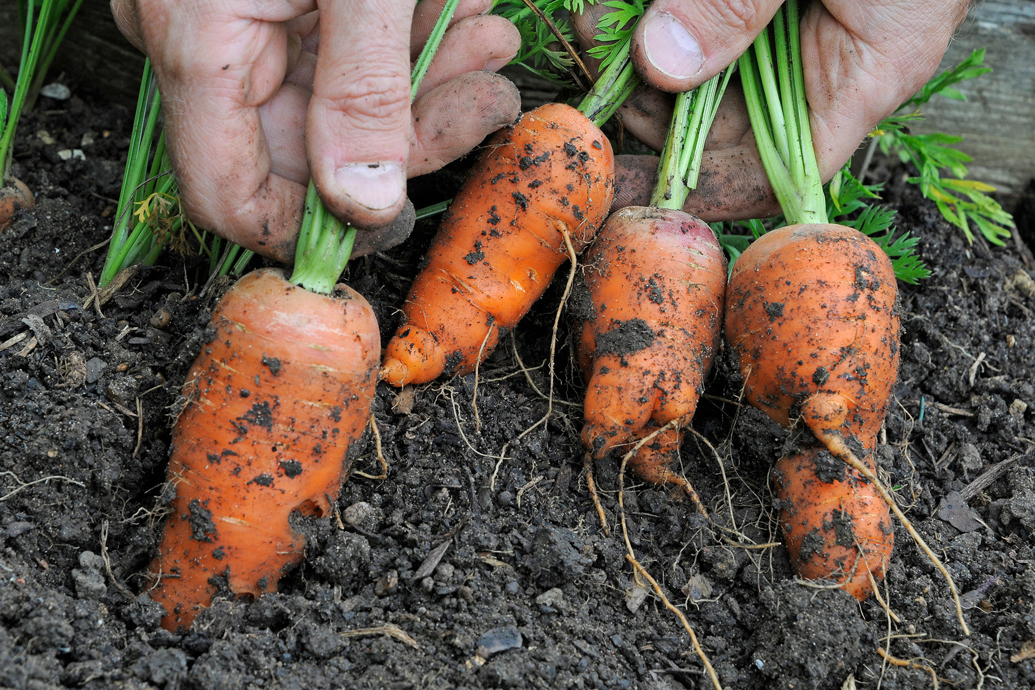 pulling-up-carrots-2